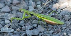 _U7A7409 (rpealit) Tags: scenery wildlife nature sandy hook gateway national recreation area praying mantis