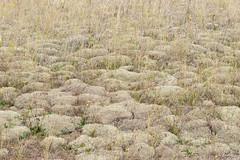 Cladonia ciliata - Cladoniaceae - Blakeney Point NNR, Norfolk, UK-4-2 (Nature21290) Tags: blakeneypointnnr cladonia cladoniaciliata cladoniaceae coast norfolk october2019 sanddunes uk