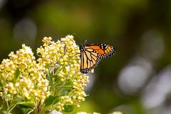 _U7A7428 (rpealit) Tags: scenery wildlife nature sandy hook gateway national recreation area monarch butterfly