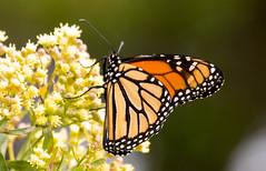 _U7A7429 (rpealit) Tags: scenery wildlife nature sandy hook gateway national recreation area monarch butterfly
