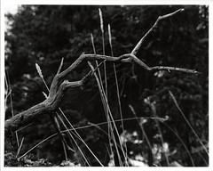 Forest Still Life (Robert Drozda) Tags: alaska film nature forest grass branch kodaktrix minoltasrt analog monochrome darkroomprint 1982 drozda