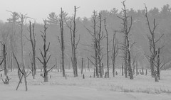 Skeleton Trees (jtr27) Tags: dscf5612xl jtr27 scarborough marsh maine dead trees minolta md zoom 75150mm f4 f40 manualfocus landscape monochrome blackandwhite bw