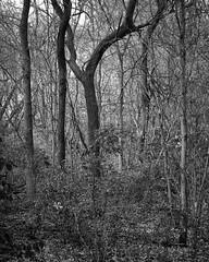 Autumn Colors In Grainy Monochrome (Modkuse) Tags: nature natural natureart art artphotography artistic artisticphotography photoart fineartphotography fineart bw blackandwhite monochrome captureone fujifilm fujinon fujinonxf1655mmf28rlmwr xf1655mmf28rlmwr fujifilmxh1 xh1 trees forest woods