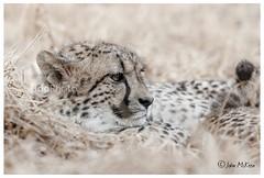 Cheetah Portrait (FidoPhoto (John McKeen)) Tags: cheetah cheetahs wildlife wildlifephotography wildanimal africa africananimal africanwildlife animalportrait feline johannesburg southafrica copyrightjohnmckeen animal portrait portraitphotography animalart
