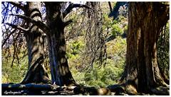 A través de la foresta / Through the forest (Claudio Andrés García) Tags: árboles trees montaña mountain bosque forest naturaleza nature primavera spring fotografía photography shot cybershot flickr