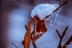 Two Seasons (Anymouse02) Tags: autumn fall leaf snow winter red dry
