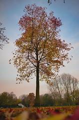 Beatrixpark Tree in Autumn (fieldenthomas) Tags: tree autumn amsterdam netherlands beatrix beatrixpark orange leaves park nikon d700 24mm