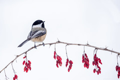 Chickadee on berry branch (NicoleW0000) Tags: blackcappedchickadee chickadee songbird bird red berries branch nature