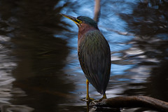 Green Heron (BEHP Photography) Tags: green blue outside water nikond850 nikkor nikon heron bird birds animals wildlife photography animal photo planet nature outdoor florida swamp cypress perch lil greenie bokeh