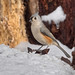 Tufted Titmouse In The Woods (Doc Roger) Tags: