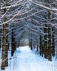 Winter Wonderland (DCHall) Tags: winter winterwonderlnad snow trail ontario asphodelnorwood freshsnow canon80d footprints canada branches mood shadows