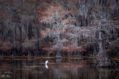 Great Blue Heron in the swamp (1810TomU) Tags: heron swamp cypress tree bird autumn leaves fall color texas louisiana lake