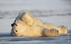 Polar Bear (karenmelody) Tags: alaska animal animals familyursadae kaktovik mammal mammals polarbear usa ursusmaritimus vertebrate vertebrates salcha unitedstatesofamerica