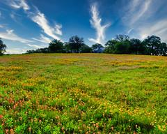 Washington County Front Yard (BFS Man) Tags: d700 nikon texas washingtoncounty bloom blossom flower wildflower