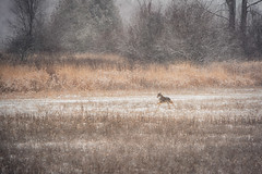 Coyote Run (flashfix) Tags: december062019 2019inphotos flashfix flashfixphotography ottawa ontario canada nikond7100 55mm300mm field snow snowing winter nature wildlife wildanimal coyote canine