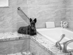 IMG_8434-Edit (Laurie2123) Tags: laurieabbotthartphotography laurietakespics laurieturner laurieturnerphotography laurie2123 maggie maggiemae missmaggie odc odc2019 ourdailychallenge scottie scottieterrier scottiedog scottishterrier bathroom home