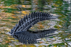 (PNWheat) Tags: reflections florida sharkvallysectionofbigcypressnationalpark everglades tail alligator