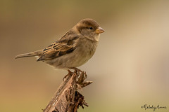 IMG_9503 (Melody Mellinger) Tags: sparrow bird featheredfriends housesparrow animals nature wildlife backyardbirds