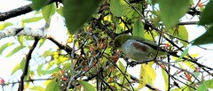 Chestnut-flanked white-eye (khoitran1957) Tags: bird nature vietnam wallpaper ultrawide wildlife widescreen wide 219 photography
