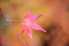 Portrait of Autumn #5 (somazeon) Tags: f28 35100mm gx7 lumix panasonic japan red maple leaf autumn