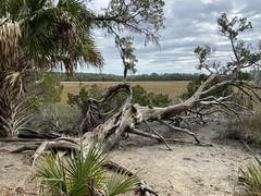"""Gnarly RedCedar (paulgarf53) Tags: savannahgeorgianatureiphone""""wormsloeplantation""""tree"""