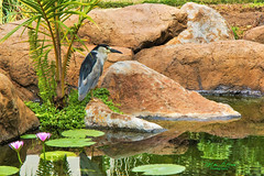Waiting To Feast (mikederrico69) Tags: plants pond bird rocks water relaxation reflection