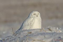 Snowy Owl (Glenn R Parker) Tags: snowyowl owls