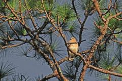 Red-shouldered hawk, Pinellas County, Florida (3 of 3) (gg1electrice60) Tags: hawk bird birdofprey regionwestcentralflorida gulfcoast pinellascounty palmharbor unitedstates usa us accipiters buteos threeviews animals nature oaktree trees