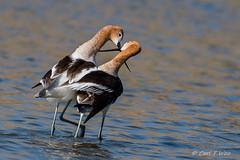 American Avocet Mating Series, 5 of 5 (OC Birds) Tags: animalwildlife california feather nature americanavocet nopeople bird animal