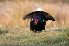 9P1A1388 Black Grouse, Tetrao tetrix, Wales. (Adrian Dancy) Tags: nature wildlife wildbird bird gamebird adriandancy wales grouse black blackgrouse tetraotetrix lek lekking