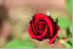 """Change alone is eternal, perpetual, immortal."" (Ramalakshmi Rajan) Tags: quotes nikon nikond750 nikkor24120mm inmygarden flowers flower rose roses red bloom nature"