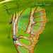 Hanging in there - Malachite butterfly (pakart62) Tags: