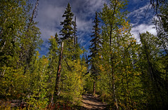 Yellows and Greens of a Forest While Hiking the Angel Rocks Trail in the Chena River State Recreation Area (thor_mark ) Tags: alaska2019 alaskaintermountainranges alaskayukonranges angelrockstrail azimuth117 blueskies bluesskieswithclouds chenariverstaterecreationarea colorefexpro day3 dxophotolab2edited eastcentralalaska evergreentrees evergreens hikingtrail hillsideoftrees imagecapturewitharsenal landscape lookingse lookingup lookingupatsky lookingupatskythroughtrees lookingupatskythrutrees lookinguptosky nature naturetrail nikond800e northfairbanksarea outside partlycloudy project365 rollinghillsides sunny talltrees talltreesallaround trail trees witharsenal chenariverstaterecreationare alaska unitedstates