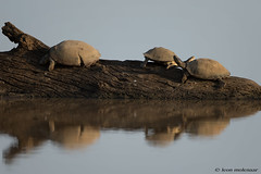 Lazy Days (leendert3) Tags: leonmolenaar southafrica krugernationalpark wildlife wilderness wildanimal nature naturereserve naturalhabitat reptiles panhingedterrapins