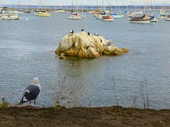 They said they were going to wait for me! (Kelson) Tags: birds bay ocean rocks monterey montereybay california gulls seagulls