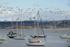 Flocking Over the Bay (Kelson) Tags: birds bay ocean rocks monterey montereybay california boats gulls seagulls