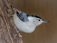 Iconic Pose (tresed47) Tags: 2019 201912dec 20191204homebirds birds canon7dmkii chestercounty content december fall folder nuthatch pennsylvania peterscamera petersphotos places season takenby us whitebreastednuthatch