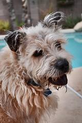 Messy Max Mix Portrait (Ramona Pioneer Girl) Tags: chowchow chow bluetongue canine dog max mix nikon nikond3500 nikonphotography
