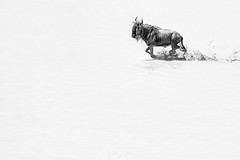 Wildebeest running (ms2thdr) Tags: africa safari tanzania wildebeest gnu wildlife bw monochrome edenvalley ndutu