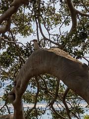 Kookaburra (koukat) Tags: sydney harbour water ferry balmoral beach australia view nsw green kookaburra native bird