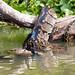 African Rock Python constricting a Cormorant, Lake Naivasha, Kenya