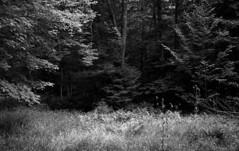 Clearing (bingley0522) Tags: leicaiiic voigtlandercolorskopar50mmf25 fp4 ilfordfp4 diafine epsonv500scanner castlerocktrail bluemountainlake adirondacks newyork easternhardwoodforest autaut