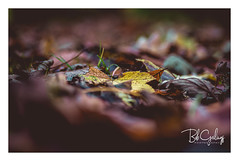 Next life: Butterfly (Bob Geilings) Tags: fall autumn leaves november brown mood trees macro bokeh forrest nature yellow butterfly