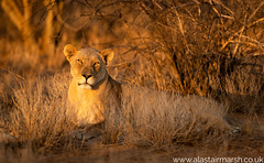 Golden Light (Alastair Marsh Photography) Tags: lion lions erindi erindigamereserve game gamereserve namibia africa africanwildlife africanmammal africanmammals mammal mammals animal animals animalsintheirlandscape wildlife nature naturereserve photography wildlifephotography sunlight sun sunshine sunset dusk golden goldenlight lioness female femalelion