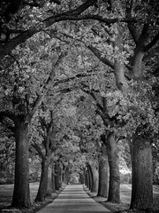 Allee - avenue (peterkaroblis) Tags: baum tree avenue allee parkway germany deutschland mecklenburgvorpommen schwarweis blackandwhite strase road