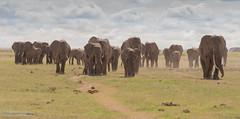African Elephants - Loxidonta africana (rosebudl1959) Tags: amboseli zebraplainsamboselicamp africanelephants november 2019