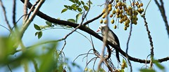 Black bulbul (khoitran1957) Tags: bird nature wildlife widescreen wide animal wallpaper photography 219 ultrawide