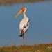 A Painted Stork on the banks of a small Lake