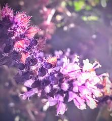 First Light On African Blue Basil (Chic Bee) Tags: appleiphone7plus bees'heaven thursdaymorning hazylazydays wintermonsoon organicgardening herbgarden flowers africanbluebasil firstlight depthoffield dof