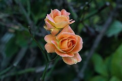 The orange roses 2. (tony allan tony allan) Tags: rose flower bloom nature naturalworld garden m42 manualfocus legacyglass lens yashica50mmlens orange sonya6000